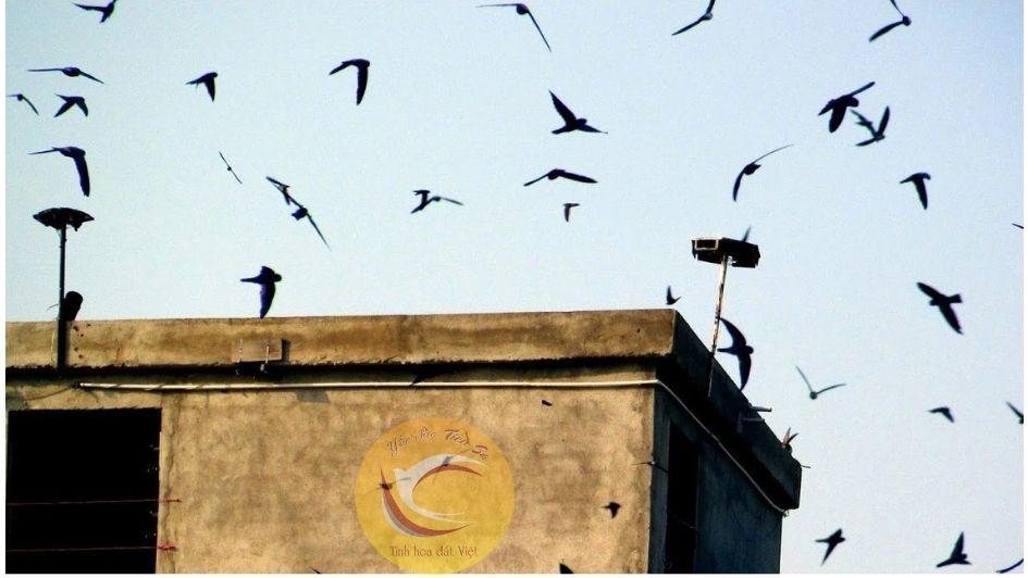 Âm thanh dụ yến chính là yếu tố thu hút chim yến tìm tới nhà yến