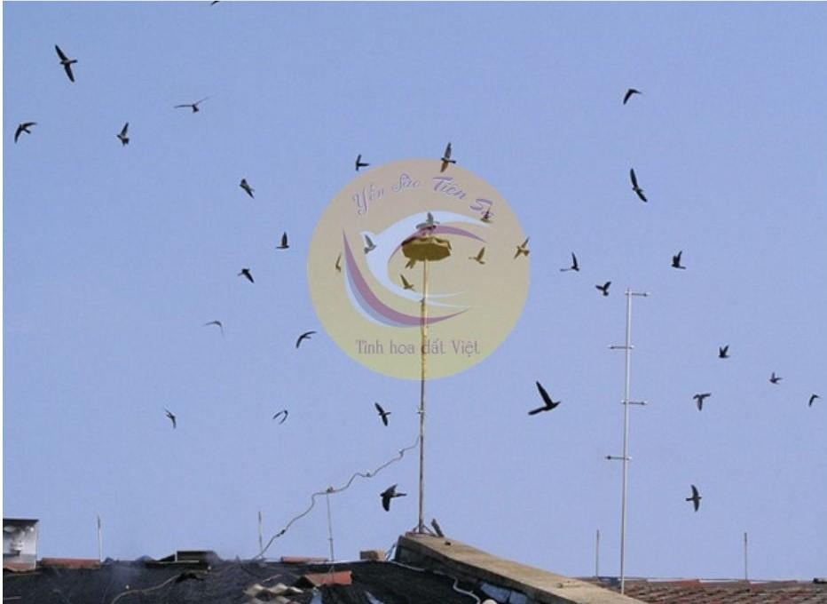 Dẫn dụ chim yến bằng âm thanh mang lại hiệu quả cao